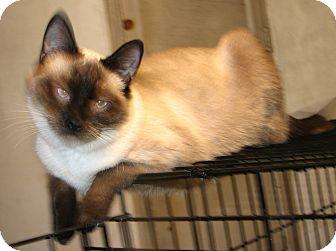 Siamese Cat for adoption in Fairbury, Nebraska - Baidu