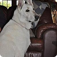 Adopt A Pet :: Angel - Hamilton, MT