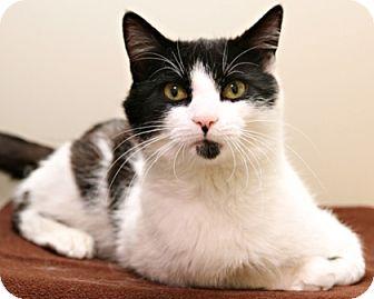 Domestic Shorthair Cat for adoption in Bellingham, Washington - Barristan