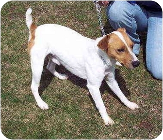 Jack Russell Terrier Mix Dog for adoption in Bloomsburg, Pennsylvania - JT