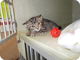 Domestic Shorthair Kitten for adoption in Centre Hall, Pennsylvania - Lonnie