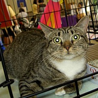 Domestic Mediumhair Cat for adoption in Madison, New Jersey - Marylou