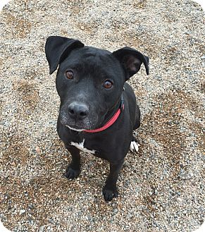 Labrador Retriever Mix Dog for adoption in Chino Valley, Arizona - Brooke