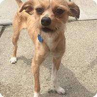 Adopt A Pet :: Scamp - Rockaway, NJ