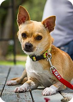 Chihuahua Mix Dog for adoption in Bulverde, Texas - Darla