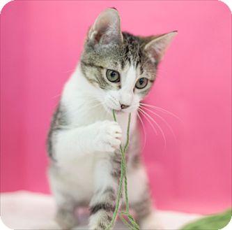 Domestic Shorthair Kitten for adoption in Houston, Texas - Zenda