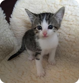 Domestic Shorthair Kitten for adoption in Fort Worth, Texas - Wally