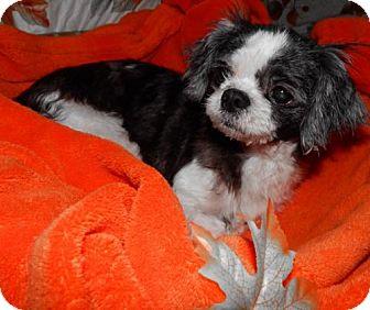 Shih Tzu Dog for adoption in Old Fort, North Carolina - Izzy Bella and Harley