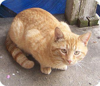 American Shorthair Cat for adoption in Charlotte, North Carolina - Spud