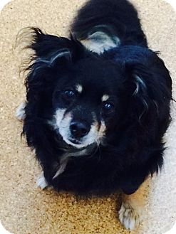 Chihuahua Mix Dog for adoption in Vancouver, Washington - Checo