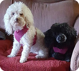 Poodle (Toy or Tea Cup) Dog for adoption in Alpharetta, Georgia - Missy
