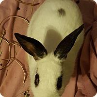 Adopt A Pet :: Saddie - Maple Shade, NJ