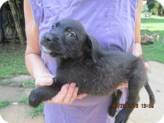 Wirehaired Pointing Griffon/Labrador Retriever Mix Puppy for adoption in South Burlington, Vermont - RIPLEY