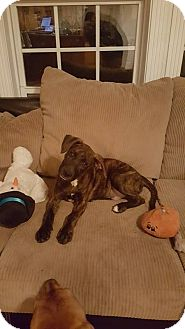 Plott Hound/Labrador Retriever Mix Puppy for adoption in Franklin, Virginia - Max