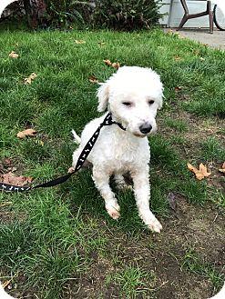 Poodle (Miniature) Dog for adoption in Tumwater, Washington - Angel