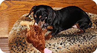 Dachshund Dog for adoption in Louisville, Colorado - Ellie