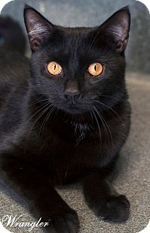 Domestic Shorthair Cat for adoption in Manahawkin, New Jersey - Wrangler