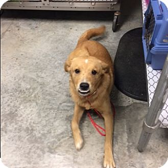 Labrador Retriever Mix Dog for adoption in Paducah, Kentucky - Smiley