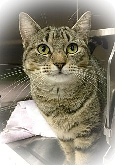 Domestic Shorthair Cat for adoption in Webster, Massachusetts - Tracy