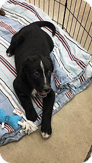 Labrador Retriever/Australian Shepherd Mix Puppy for adoption in Enid, Oklahoma - Hurricane