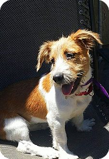 Basset Hound/Jack Russell Terrier Mix Puppy for adoption in Osteen, Florida - Tigger