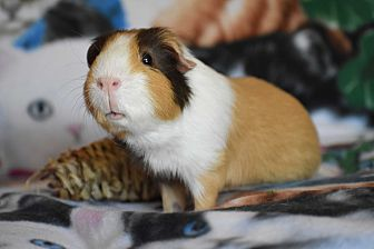 Guinea Pig for adoption in Pine Bush, New York - Rocky