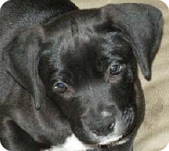 Boxer/Labrador Retriever Mix Puppy for adoption in Houston, Texas - MARIO