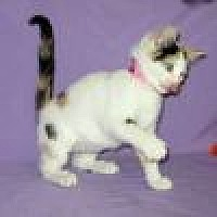 Colorpoint Shorthair Cat for adoption in Powell, Ohio - Arabella