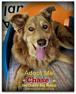 Australian Shepherd/Hound (Unknown Type) Mix Dog for adoption in Queen Creek, Arizona - Chase