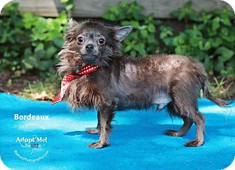 Chihuahua Mix Dog for adoption in Shawnee Mission, Kansas - Bordeaux