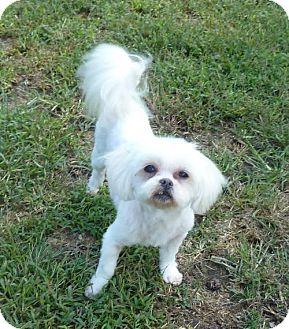Maltese Mix Dog for adoption in Ashland, Virginia - Queenie-ADOPTED!!!