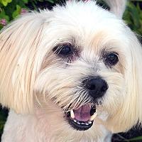 Adopt A Pet :: Henry - Bridgeton, MO