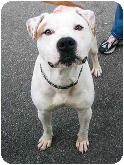 American Pit Bull Terrier Mix Dog for adoption in Providence, Rhode Island - Happy Bobby URGENT