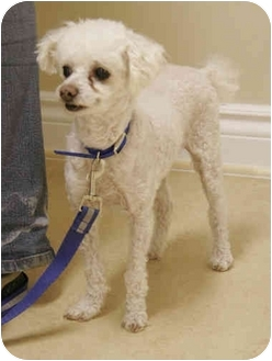 Toy Poodle Dog for adoption in Rigaud, Quebec - Ziggi