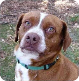 Brittany/Bulldog Mix Dog for adoption in Mocksville, North Carolina - Boris