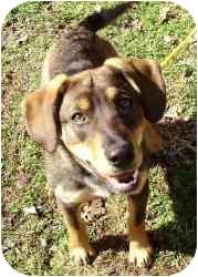 Beagle/German Shepherd Dog Mix Puppy for adoption in Kansas City, Missouri - Courtesy List-Coconut