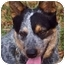 Photo 1 - Australian Cattle Dog Dog for adoption in Siler City, North Carolina - Rowan