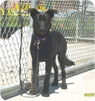 Labrador Retriever/German Shepherd Dog Mix Dog for adoption in Austin, Minnesota - Horton
