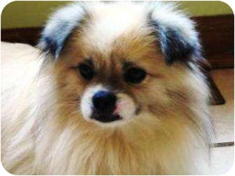 Pomeranian Mix Dog for adoption in Oswego, Illinois - Yogi the Bear