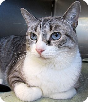 Snowshoe Cat for adoption in Seminole, Florida - Chloe