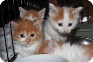 Maine Coon Kitten for adoption in Santa Monica, California - Ginger