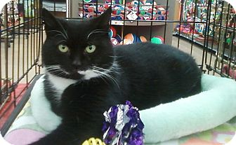 Domestic Shorthair Cat for adoption in Richmond, Virginia - Anya