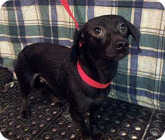 Dachshund Mix Dog for adoption in Staunton, Virginia - Artie