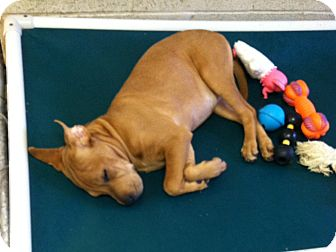 Shar Pei Mix Puppy for adoption in Greensburg, Pennsylvania - Mary Jane
