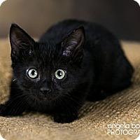 Adopt A Pet :: Pax - Eagan, MN
