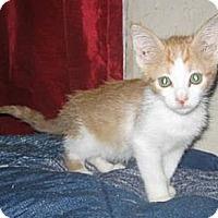 Adopt A Pet :: Cheeto - Chandler, AZ