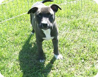 American Staffordshire Terrier/Boxer Mix Puppy for adoption in Liberty Center, Ohio - Bandy