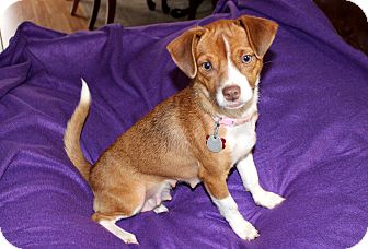 Chihuahua Mix Dog for adoption in Salem, New Hampshire - DARLING DAISY