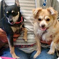Adopt A Pet :: Little Bit - Henderson, KY