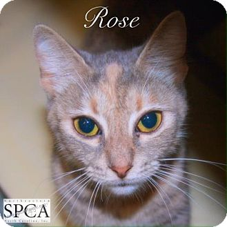 Domestic Shorthair Cat for adoption in Elizabeth City, North Carolina - Rose  SPECIAL
